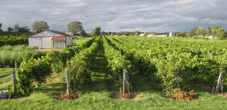 Trellis vineyards growing concord grapes the most common - Difference between wine grapes and table grapes ...